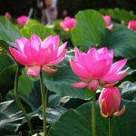6 loài hoa có ý nghĩa theo phong thủy